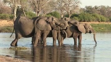 manada reprodutiva de elefantes bebendo no rio, botswana video