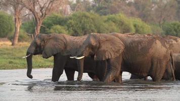 manada reprodutiva de elefantes cruzando o rio no delta do okavango video