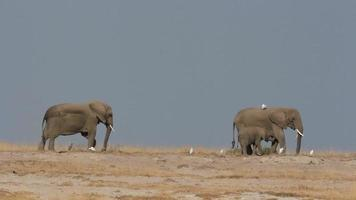 African elephants against blue sky