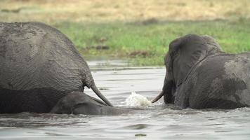 Rebaño de cría de elefantes cruzando el río en el delta del Okavango.