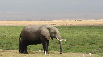elefante africano con ternero joven video