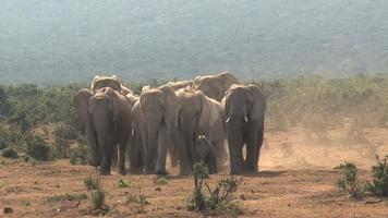 Herde afrikanischer Elefanten