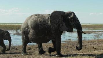 schützender Elefant