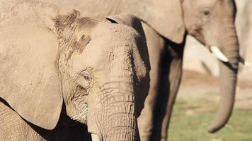 paire d'éléphants d'Afrique mangeant