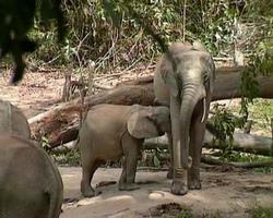 éléphants de forêt africains 7