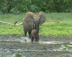 éléphants de forêt africains 8