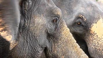 elefante asiático video