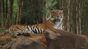 Tiger lying relaxed. video