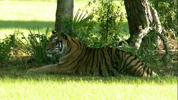tigre del Bengala posa in ombra