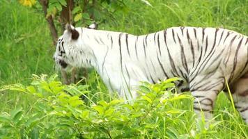 White Bengal Tiger video