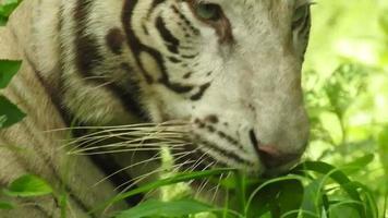 una tigre bianca dall'aspetto furioso da vicino mentre pascola l'erba video