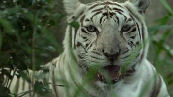 weißer Tiger, der im Gras liegt
