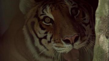 tigre del Bengala che ringhia alla telecamera