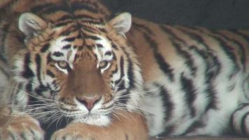 tigre siberiano, close-up (hd 1080i / 50) video