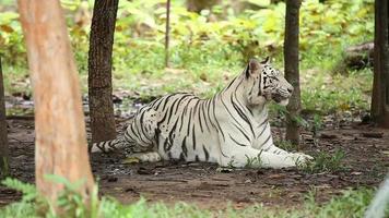Tigre branco video