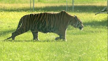 tigre del Bengala che cammina al rallentatore