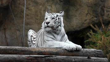 White tiger lying and relaxing outdoors video