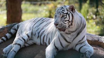 White Tiger Lying Down On Ground video