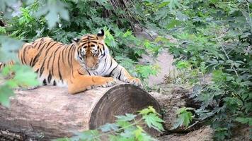 tigre dans les fourrés de la forêt