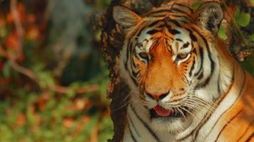 tigre siberiano olhando para a câmera