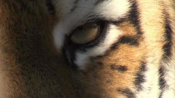 occhio di tigre video