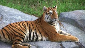 tigre siberiana allertata dalla preda (additional_formats_below)