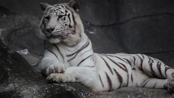 tigre de bengala branco, deitado, relaxado e olhando no penhasco