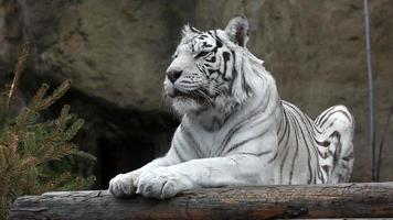 White Bengalese tiger
