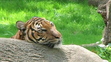 primo piano della tigre siberiana video