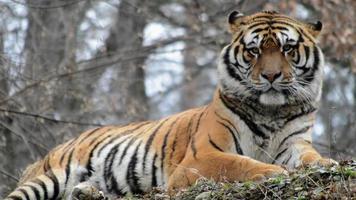 tigre de Sibérie video
