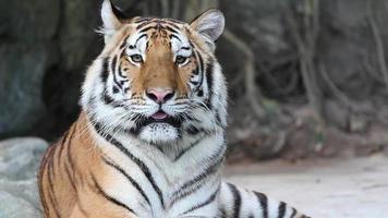 Sumatran tiger video