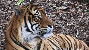 ritratto della tigre di Sumatra