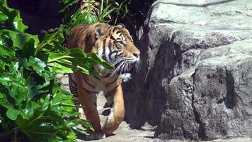 Sumatran Tiger (Panthera tigris sumatrae) walks