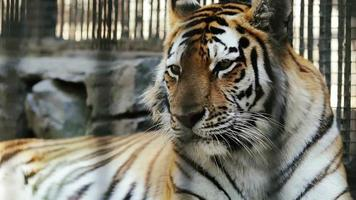 Amur tiger resting at the Zoo video
