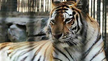 tigre dell'amur che riposa allo zoo