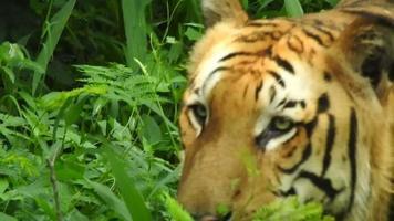 la tigre reale del Bengala di umore furioso video