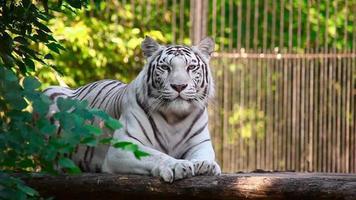 White tigress.