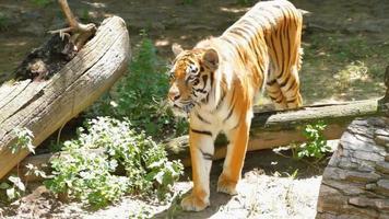 tigre siberiana video