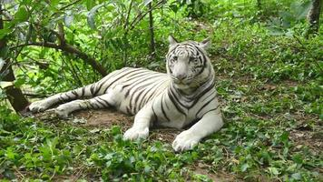 female white bengal tiger resting in nature video
