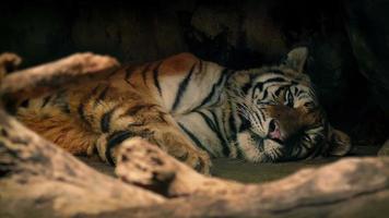 tigre che riposa all'ombra