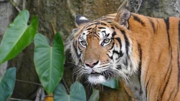 portrait d'un tigre du Bengale. video