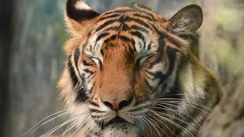 bengal tiger face close up