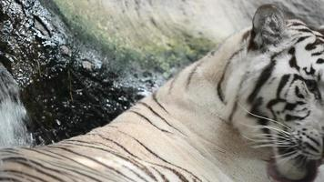 white bengal tiger resting on the rock