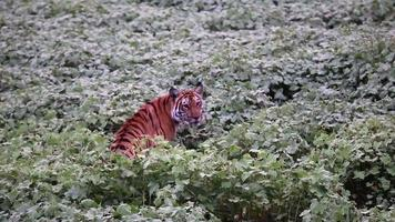 tigre dans l'habitat video