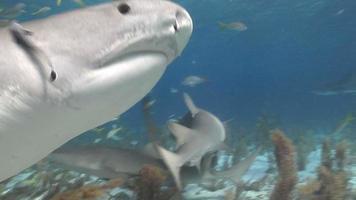 Tiger Shark Blinks video