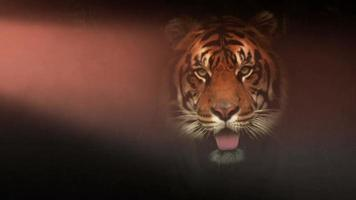 la tigre si accese drammaticamente video