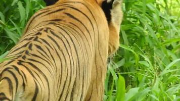 o tigre real de bengala video