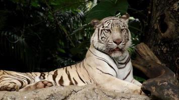 tigre bianca sulla roccia video