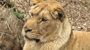baby lion in attesa
