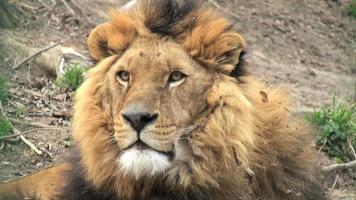 leone che riposa